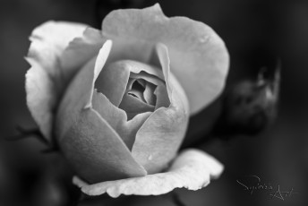 Rose-004_web
